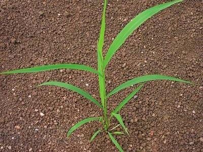 Mohár zelený