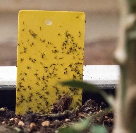 Malé mušky v kvetináči – ako sa ich zbaviť?